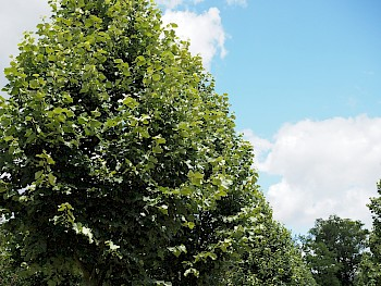 Tilia tomentosa 'Grey Pillar'