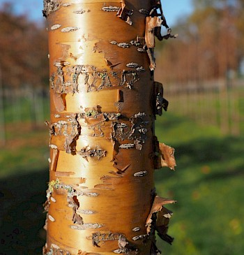 Prunus maackii 'Amber Beauty'